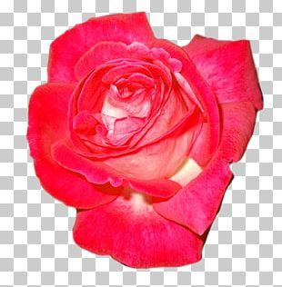 Garden Roses Floribunda Cabbage Rose China Rose Tea Rose PNG
