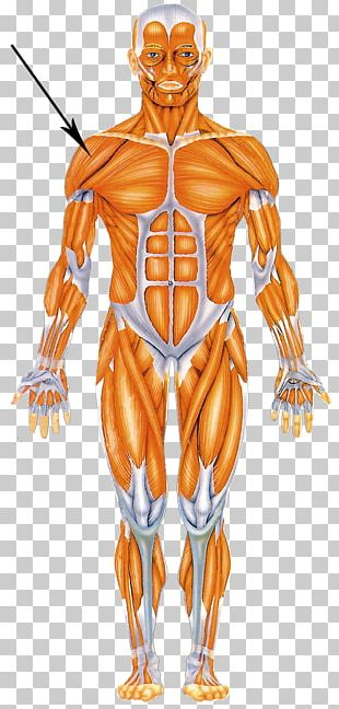 Human Body Muscular System Muscle Human Anatomy Homo Sapiens PNG