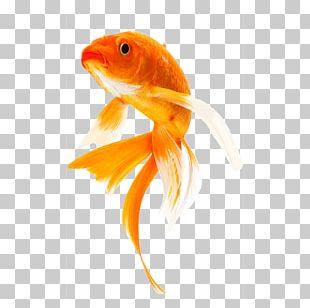 Butterfly Koi Goldfish Carp Koi Pond PNG