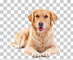 Golden Retriever Puppy Pet Sitting Cat PNG
