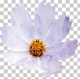 Chrysanthemum Indicum Petal Flower PNG