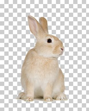 Domestic Rabbit Cat Hare PNG