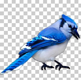 Blue Jay Bird Finch Domestic Canary PNG