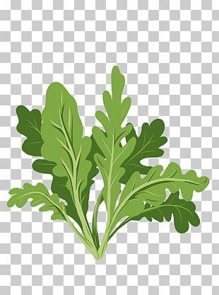 Parsley Arugula Leaf Stock Photography PNG