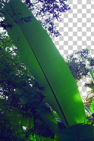 Leaf Musa Basjoo PNG