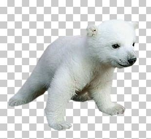 Polar Bear Baby Animals For Kids PNG