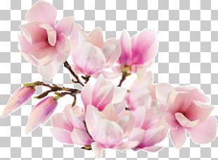 Magnolia ST.AU.150 MIN.V.UNC.NR AD Family Flower Petal PNG