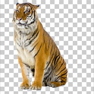 Tiger Pizza Steve Cat Stock Photography PNG