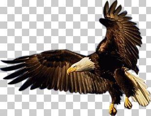 Bald Eagle Bird Of Prey Eagle Flight PNG