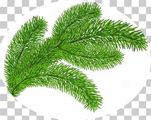 Evergreen Stock Photography PNG