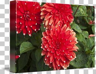 Dahlia Chrysanthemum Floristry Petal Annual Plant PNG