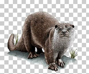 Sea Otter Asian Small-clawed Otter Eurasian Otter Drawing North American River Otter PNG