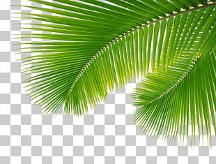 Arecaceae Leaf Palm Branch PNG