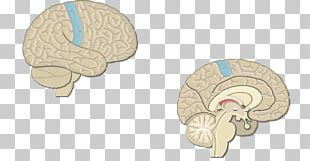 Brain Visual Cortex Cerebral Cortex Primary Motor Cortex PNG