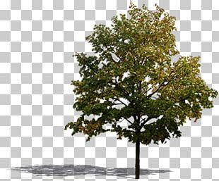 Landscape Architecture Tree PNG