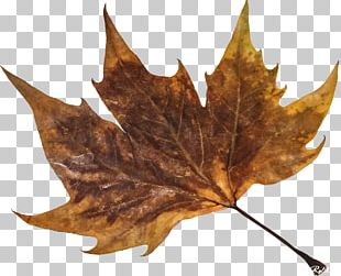 Maple Leaf Plant PNG