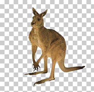 Australia Cat Red Kangaroo Tail PNG