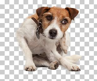 Jack Russell Terrier Puppy Dog Breed Companion Dog Dog Flea PNG