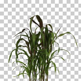 Chinese Fountain Grass Ornamental Grass Lampepoetsergras Plants Product PNG