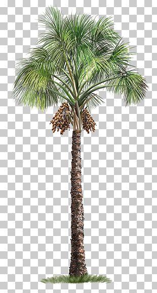 Mauritia Flexuosa Arecaceae Tree PNG