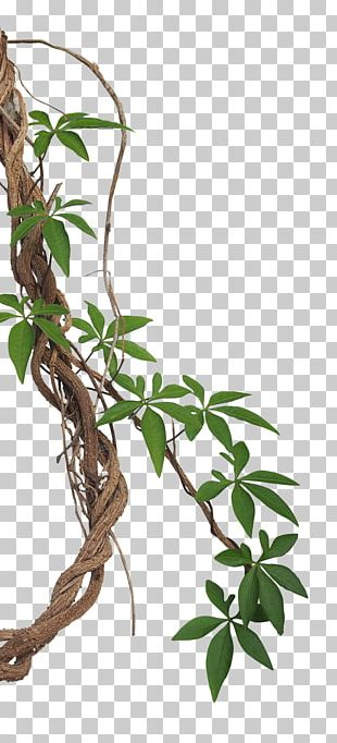 Vine Liana Tropical Rainforest Stock Photography Jungle PNG
