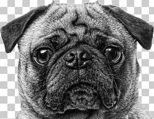 Pug Puppy Dog Breed Companion Dog Canvas Print PNG
