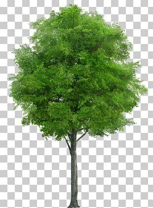 Populus Nigra Tree PNG