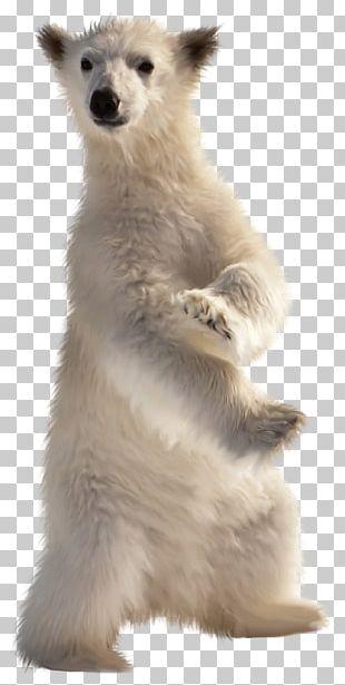 Baby Polar Bear American Black Bear Desktop PNG