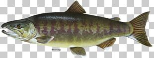 Chum Salmon Perch Chinook Salmon Coho Salmon PNG
