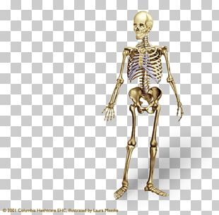 Human Skeleton Human Body Bone Anatomy Axial Skeleton PNG