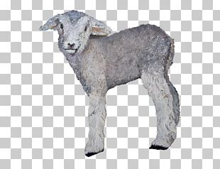 Sheep Goat Cattle Fur Snout PNG