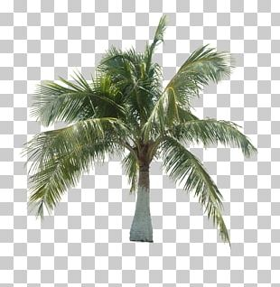 Asian Palmyra Palm Coconut Tree Arecaceae PNG