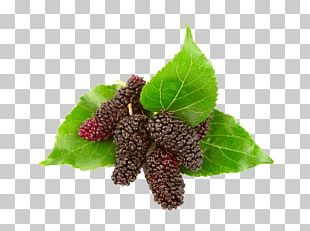 Blackberry Red Mulberry Black Mulberry Euclidean PNG