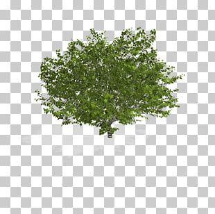 Calliandra Haematocephala Plant Tree Shrub PNG