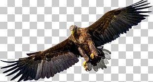 Bird Of Prey Bald Eagle PNG