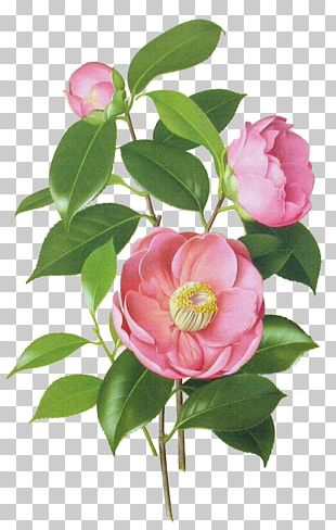 Japanese Camellia Drawing Watercolor Painting Botanical Illustration PNG