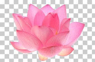Nelumbo Nucifera Egyptian Lotus Flower Lotus Seed PNG
