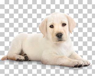 Labrador Retriever Puppy Kitten Cat Pet PNG