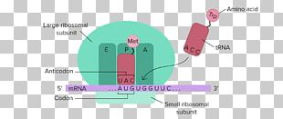 RNA And Protein Synthesis Translation Transcription DNA PNG