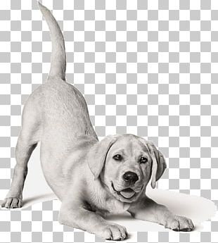 Labrador Retriever Puppy Dog Breed Cat Food PNG
