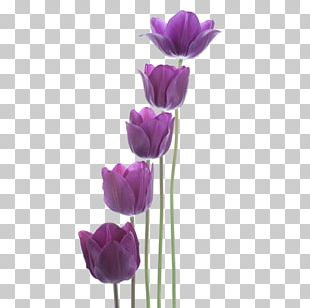 Tulip Purple New Year PNG