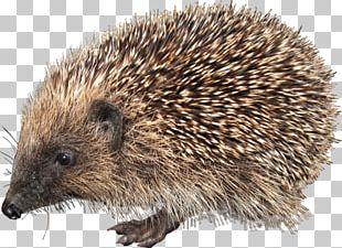 European Hedgehog PNG