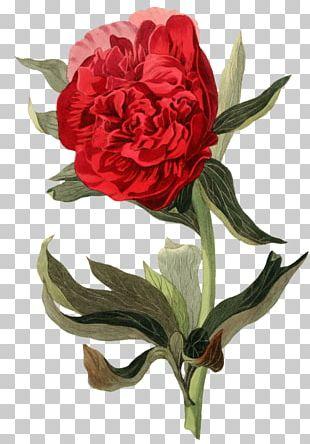 Garden Roses Botanical Illustration Botany Peony PNG