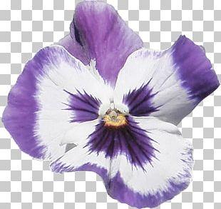 Pansy Violet Dahlia Flower Petal PNG