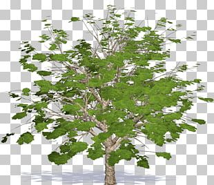 Twig Plane Trees Leaf Plane Tree Family PNG