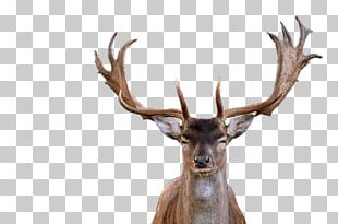 Red Deer Elk Antler PNG