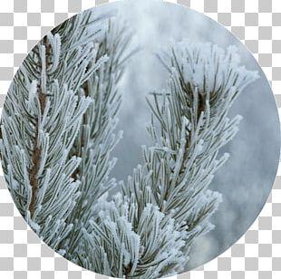 Fir Christmas Ornament Spruce Autumn Winter PNG