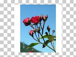Petal Rose Family Bud Plant Stem Herbaceous Plant PNG