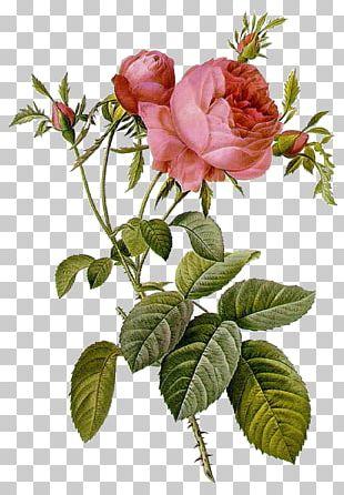 Les Roses Pierre-Joseph Redouté (1759-1840) Illustration Moss Rose PNG
