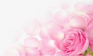 Flying Light Pink Rose Petals PNG